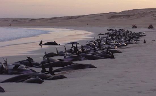 delfini-spiaggiati-peru.jpg