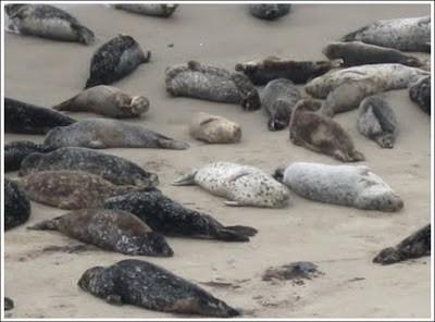 moria-di-foche.jpg