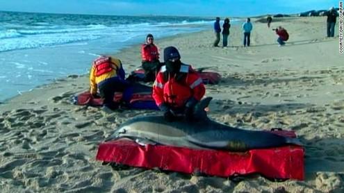 strage-di-delfini-spiaggiati-a-cape-cod-nel-m-L-AGsRKB.jpeg